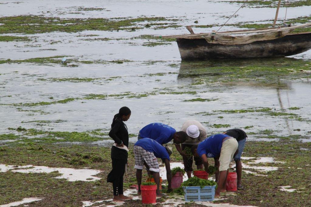 069-Plage-de-Nungwi-ramassage-des-algues.JPG