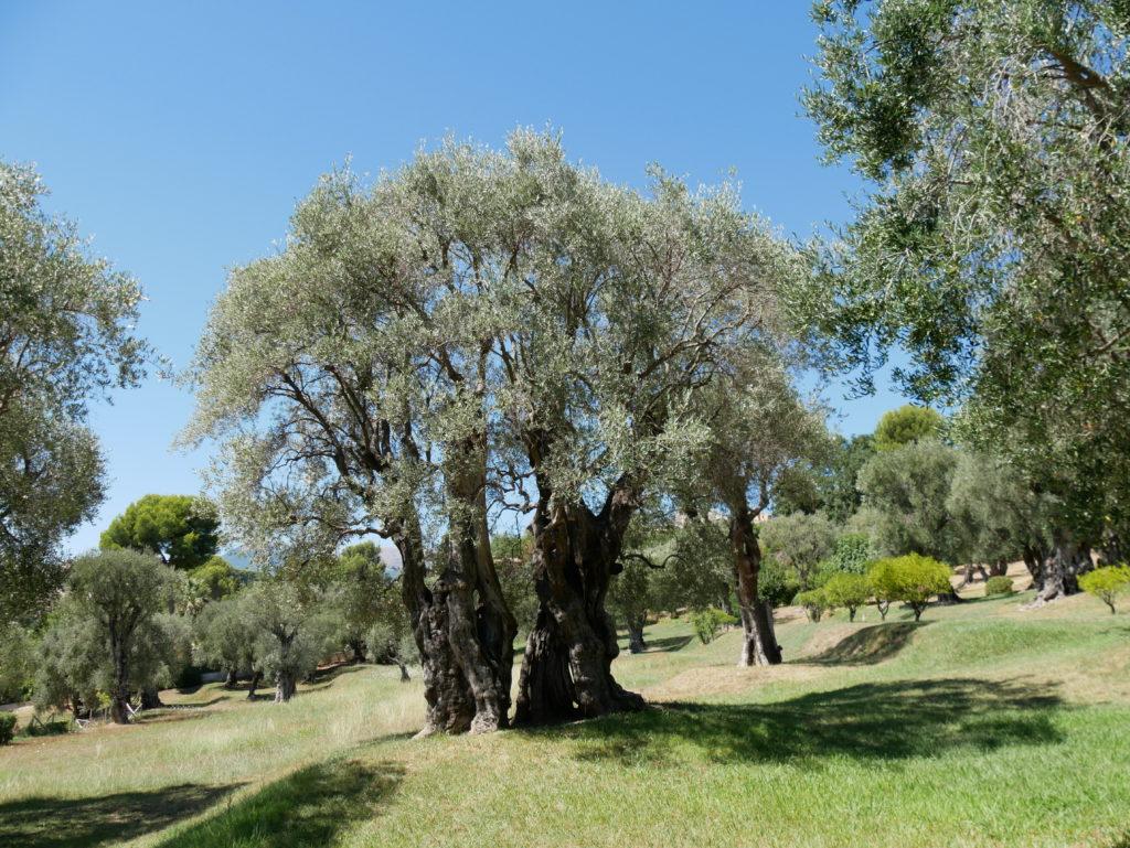 Les oliviers centenaires
