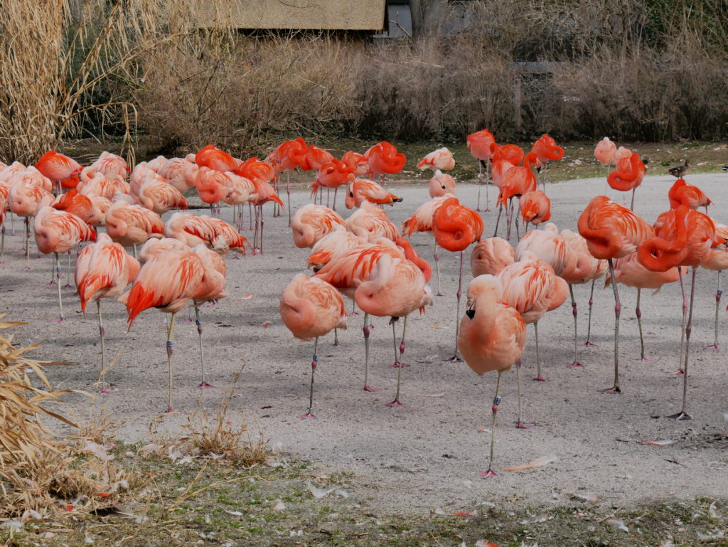 Colonies de Flamants roses