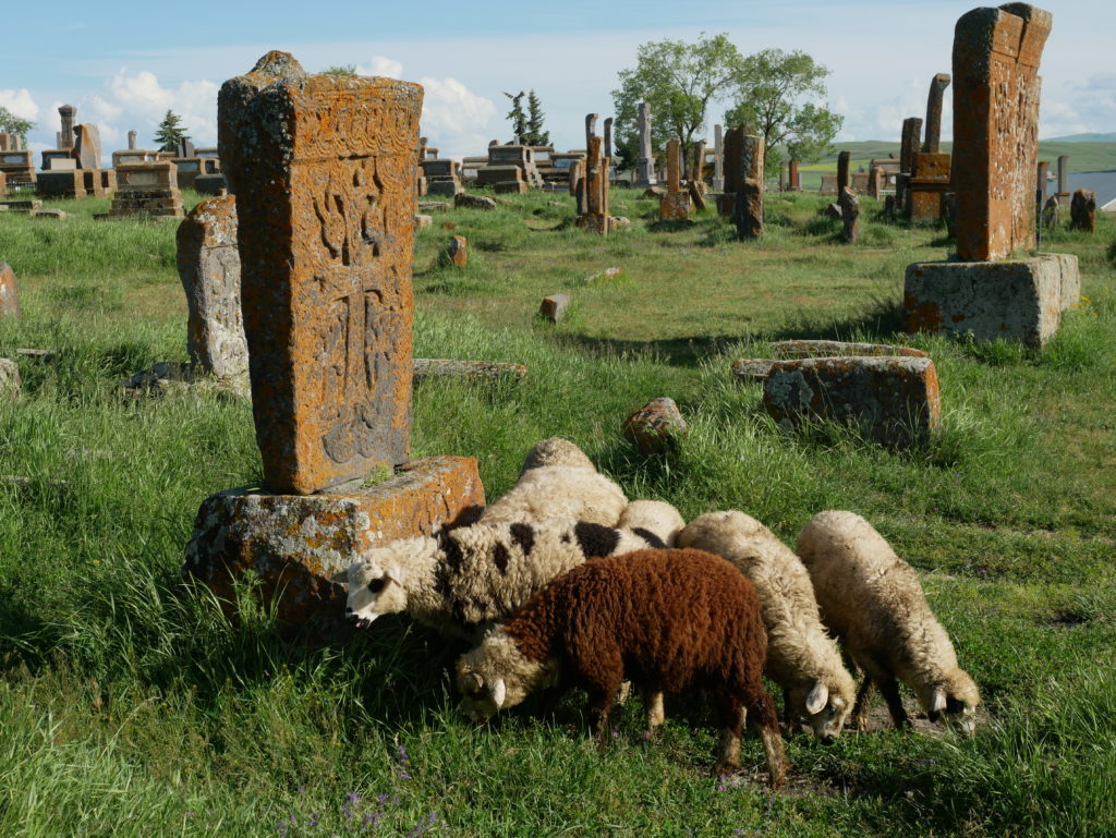 Moutons au milieu des tombes