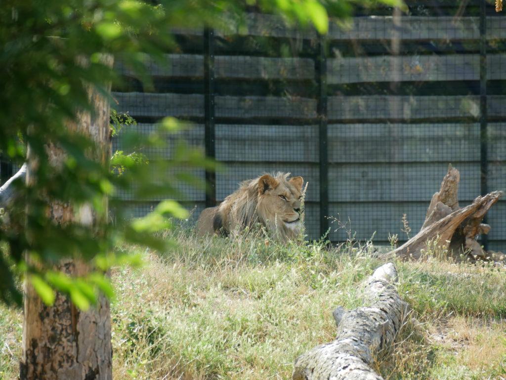 Un des Lions du Zoo
